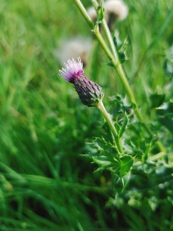 EyeEm Selects EyeEm Best Shots EyeEmNewHere Flower Flower Head Thistle Close-up Plant Animal Themes Green Color Wildflower Symbiotic Relationship Butterfly - Insect