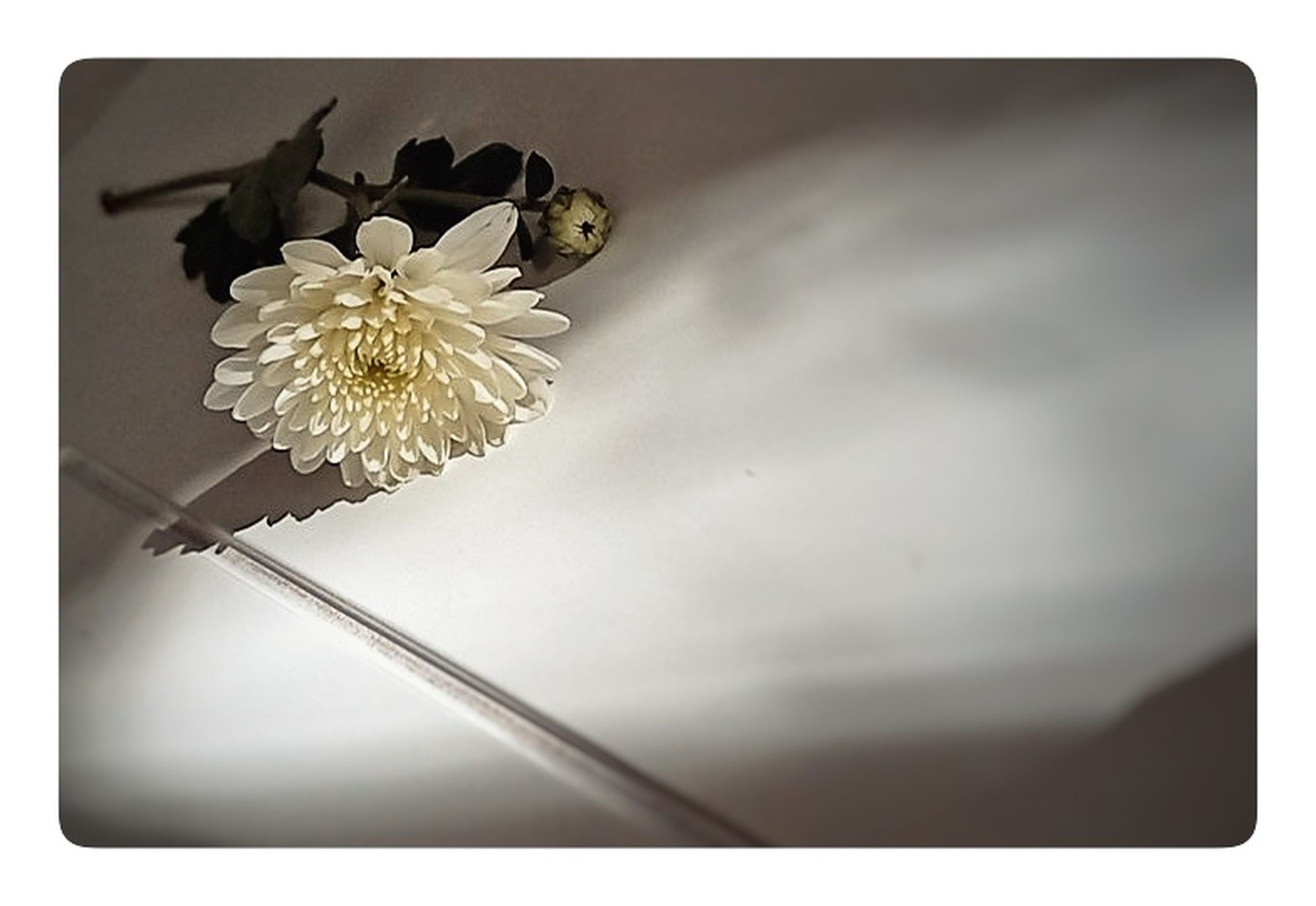 flower, flowering plant, plant, jewellery, no people, nature, flower head, fashion accessory, indoors, copy space, studio shot, freshness, beauty in nature