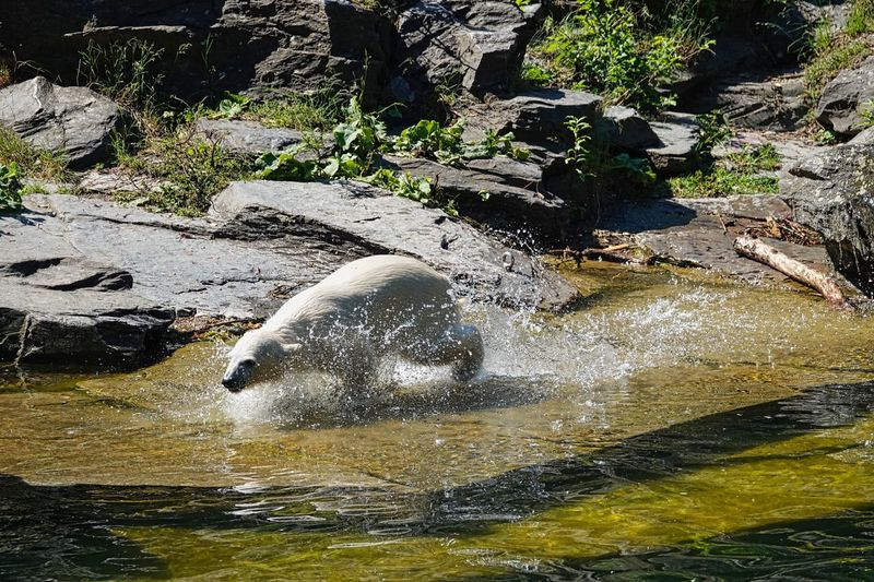 Mammal Icebear Water Nature Animal Themes Day Animal Animals In The Wild No People Animal Wildlife Lake Waterfront Sunlight Vertebrate One Animal Outdoors Swimming Beauty In Nature High Angle View