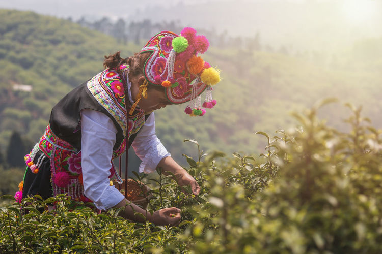 Yiliang, China - March 23, 2019: White Yi woman at sunset dressed in a traditional attire picking up tea leaves in Baohong mountain, Yiliang in Yunnan Yiliang Kunming, China Tea Tea Leaves Tea Harvesting Yi Minority Ethnic Group China ASIA Tea Garden Tea Production Tea Processing Puer Tea Oolong Tea