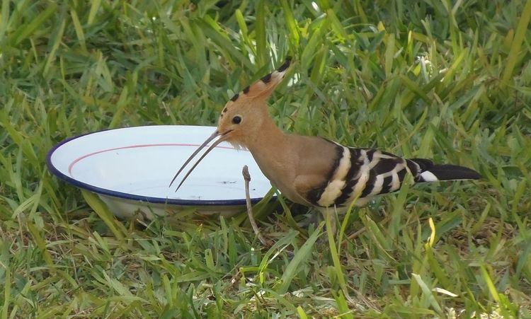 bird Bird Photography Birdwatching close-up hoopoe hoopoe hoopoes هدهد Wild Birds Eurasian Hoopoes (Upupa Epops) Bird Bird Photography Birdwatching Close-up Hoopoe Hoopoes Hoopoe Bird Libya Birds