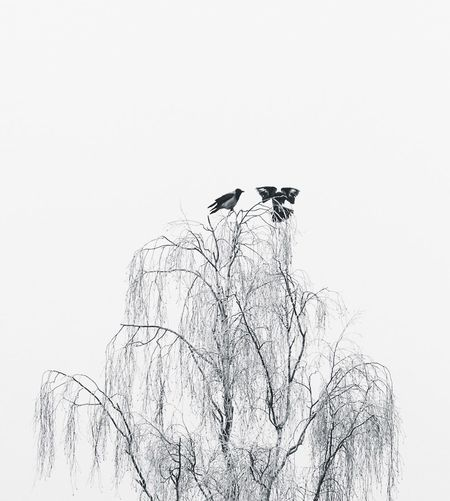 EARTHLY ANGEL   Bird Birds Crow Animals Animal Wildlife Tree Blackandwhite Black And White Animal Themes Low Angle View Animals In The Wild Clear Sky Bare Tree One Animal Tree No People Nature Outdoors Branch Sky Day Perching Sweden Winter Cold Temperature