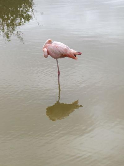 Sleeping flamingo Sleep Sleeping Bird Flamingo Animals In The Wild Nature Reserve One Animal No People Water