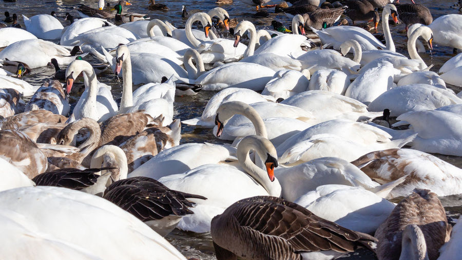 Flock Of Birds Outdoors White Color Nature No People Bird Cold Temperature Swans