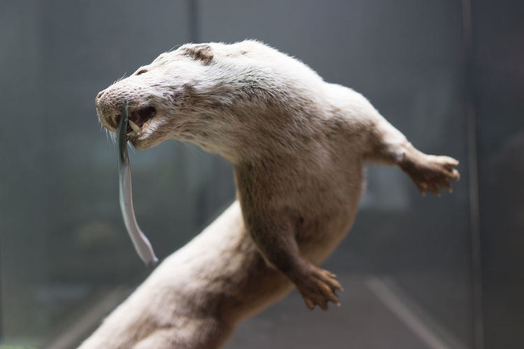 Close-up of dead animal in display at museum