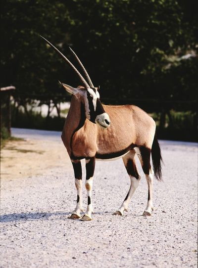 View Of Gemsbok Standing On Road