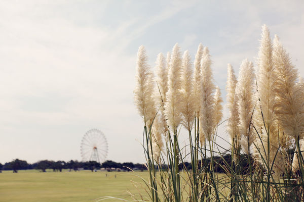 Seaside Park Colors Hitachi Hitachi Seaside Park HitachiSeaSidePark Japan Tranquility Beauty In Nature Day Field Grass Growth Landscape Nature No People Outdoors Plant Pretty Sky Tranquility Tree