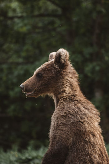 Portrait of a brown  bear cub in the wilderness forest. romania,transylvania.
