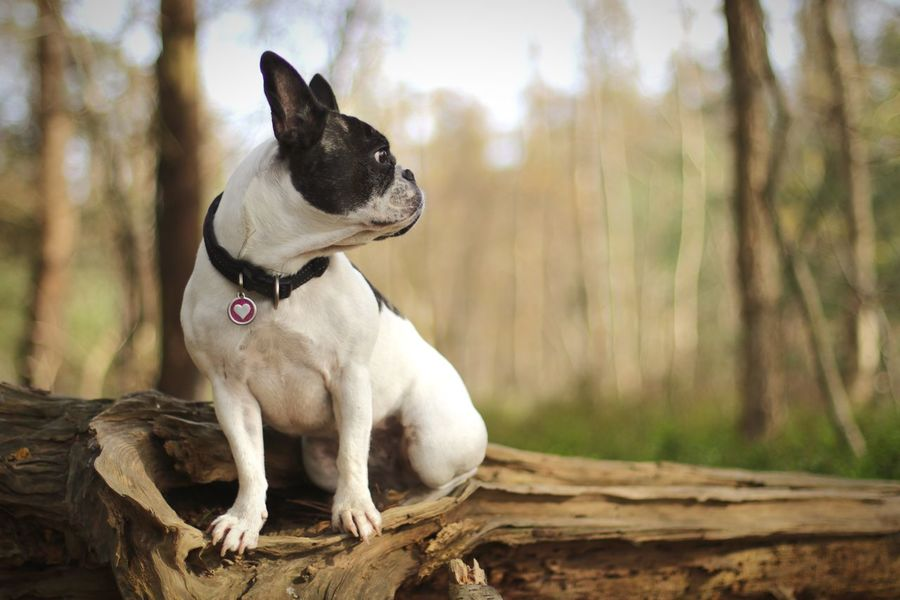 Pets Animal Themes Dog Dog Looking Away French Bulldog Looking Away French Bulldog Sitting In The Forest Im Wald Day Outdoors Mit Hund Im Wald Tree Nature Close-up The Week On EyeEm Hund French Bulldog Französische Bulldogge  Hunde Herbst Autumn Portrait Sitting Tree Forest Lost In The Landscape