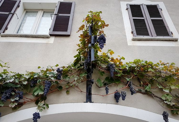 Architecture Building Exterior Window Flower Built Structure Growth Day Outdoors Plant No People Nature Window Box Winery On The Wall Vine - Plant Growth Wine Tourism Travel Destinations Langhe Piedmont Italy Grapes Winemaking