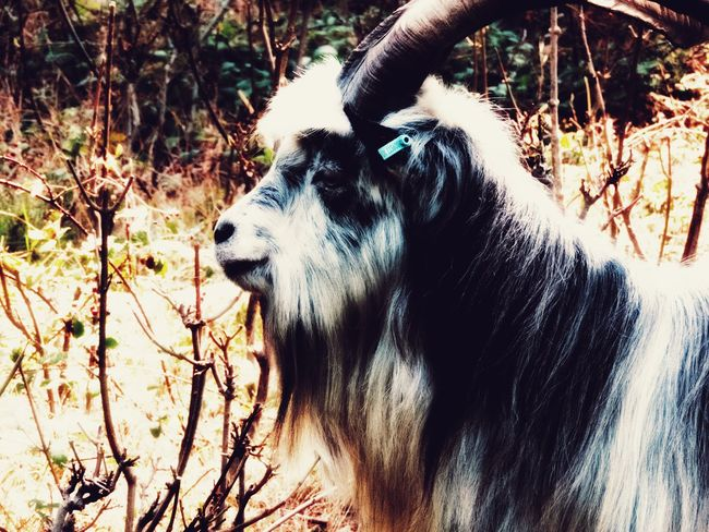 One Animal Animal Themes Mammal Day Domestic Animals No People Dog Outdoors Animals In The Wild Pets Tree Nature Close-up Goat
