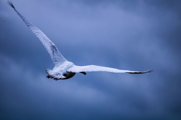 Low angle view of swan flying