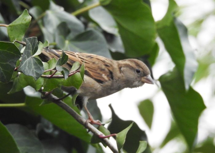 Animal Wildlife Animal Animal Themes Vertebrate One Animal Animals In The Wild Plant Part Leaf Bird Plant Perching Tree Branch Nature Day No People Green Color Close-up Selective Focus Growth Outdoors Sparrow Ivy Birds_collection Alertness