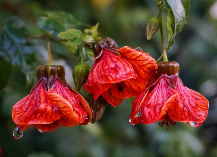 Close-up of wet red flowers