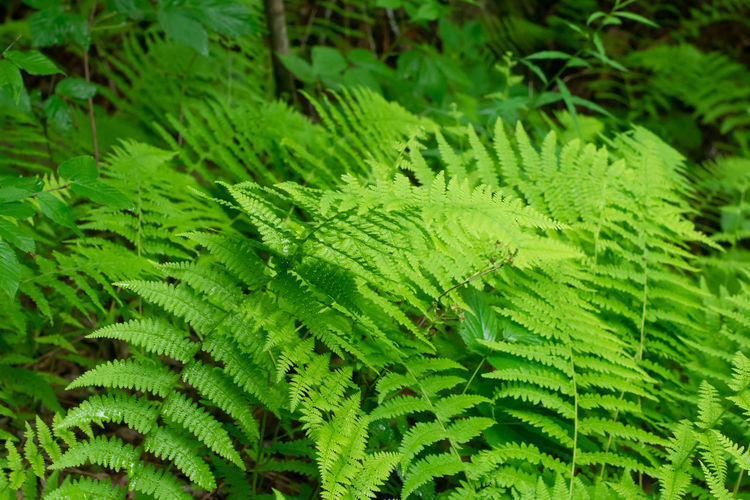 Bright healthy ferns right after a rain in the mountains. Backgrounds Beauty In Nature Close-up Coniferous Tree Day Fern Foliage Forest Freshness Full Frame Green Color Growth Land Leaf Leaves Lush Foliage Nature No People Outdoors Plant Plant Part Rainforest Tranquility Tree
