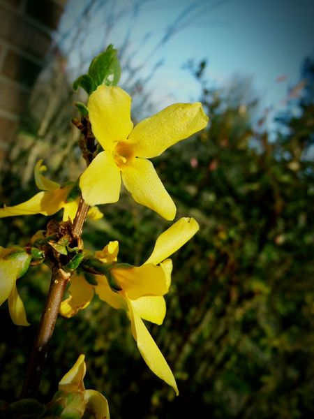 Forsythia Forsythia Blooms Forsythia Flowers Yellow Flower Head Flower Plant Growth Close-up Springtime Spring Flowers Blooming Branch And Flowers