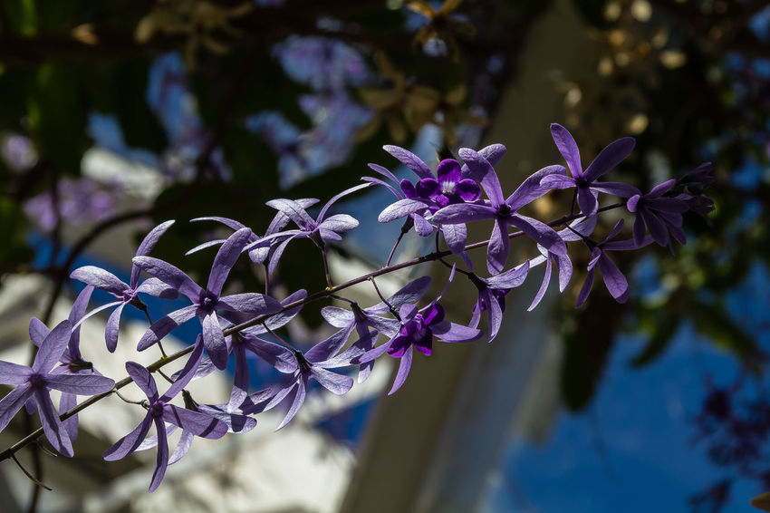 """The name Petrea was given to commemorate the name of Lord Petre, who, in the 18th Century, became famous for his wonderful collection of exotic plants. Volubilis means """"twining."""" One of the common names """"Fleur de Dieu"""" means """"Flower of God"""", another - """"Sandpaper Vine"""" - refers to the rough leaves. The Purple Wreath was introduced from tropical America to other tropical areas many years ago and has always been popular as a garden shrub. Widely grown throughout Caribbean, and variously in the tropics and subtropics, it is cultivated as landscape specimen in Dominican homes, especially on the Atlantic Coast. https://toptropicals.com/html/toptropicals/plant_wk/petrea.htm Petrea Volubilis Beauty In Nature Blooming Blue Close-up Flower Flower Head Purple"""