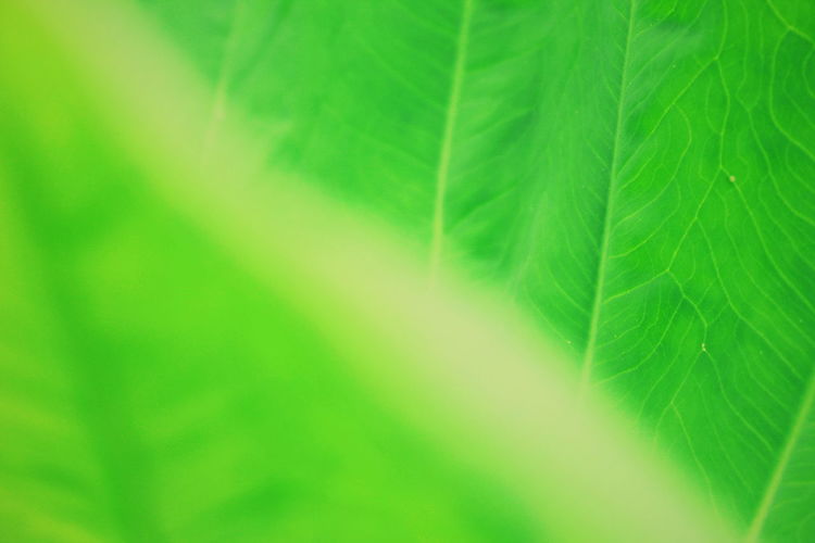 Green Nature Backgrounds Leaf Full Frame Textured  Close-up Green Color Leaf Vein Natural Pattern Botany Greenery Young Plant 17.62°