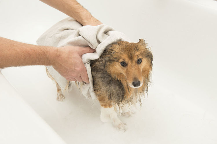 Dog being dryed with a towel by a grooming after being washed in a bath Grooming Bathtub Bathroom Towel Dryed Dried Domestic Bathroom Cleaning Pets Domestic Dog Canine Human Hand Hand Washed