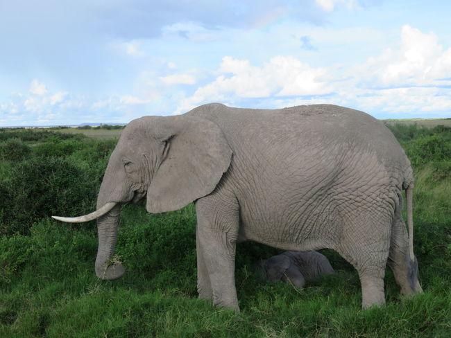 Elephant Safari Animals Safari Kenya Africa Mount Kilimanjaro Herbivorous Beauty In Nature Animals In The Wild Animal Wildlife Outdoors