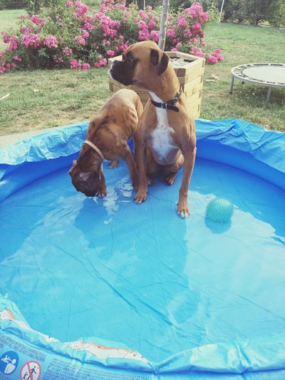 Boxer Dogs Chien♥ Boxer Dog Babine