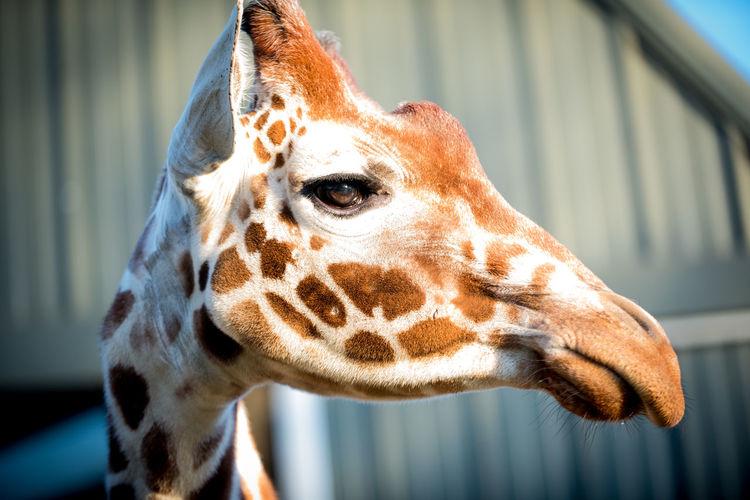 zoo life Wildlife & Nature Girrafe  EyeEm Selects Wildlife Photography Nature