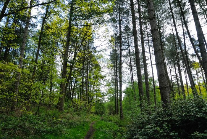 Staffordshire Trees Conifers Green