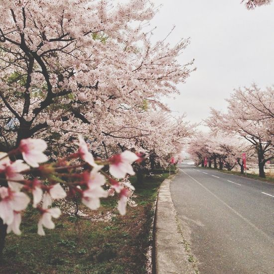 Cherry 桜 Blossom