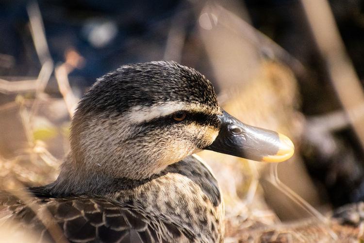duck eyes Duck