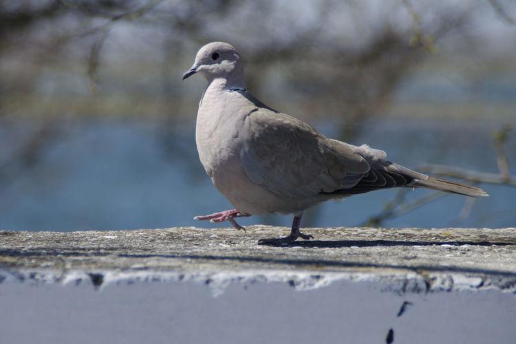 The walking pigeon