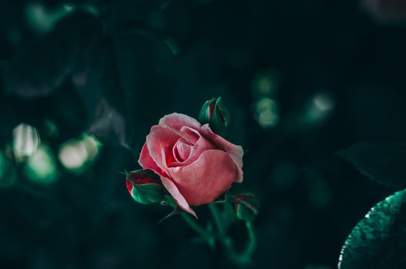 Close-Up Of Pink Rose Against Blurred Background