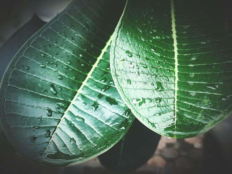 Leaf Plant Part Water Close-up No People Drop Nature Growth Day Indoors  Sunlight High Angle View Beauty In Nature Leaf Vein Leaves Dew Green Color Wet Plant Purity