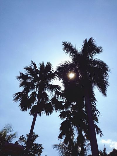 Palm Tree Tree Low Angle View Nature Growth Sky No People Scenics Beauty In Nature Outdoors Clear Sky Tranquility Day Silhouette Palm Frond