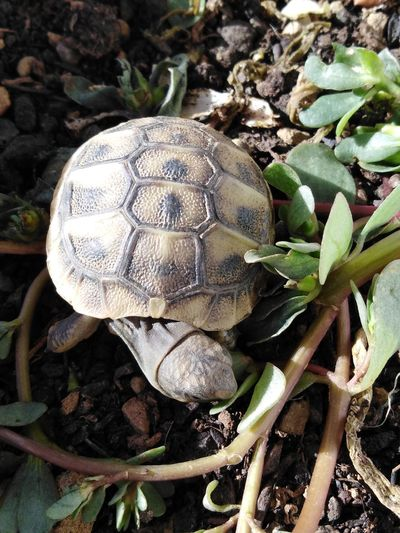 Tortoise's lunch time! Turtle Eating Cute Pets Sunlight Earth Environment Animal Animal Themes Animal Photography Pets Exotic Pets Baby Tortoise Tortoise Tortoise Shell Tortoise Eating Green Leaves Close-up Plant Slow Animal Shell Growing