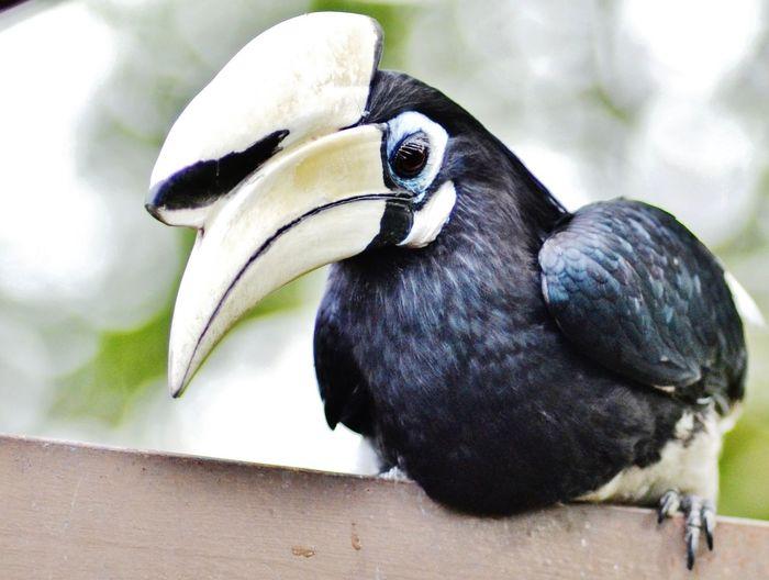 Close-Up Of Palawan Hornbill On Wood