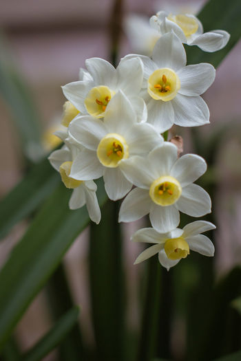 Close-up Daffodils Flower Flowers Flowers,Plants & Garden Fragility Garden Narcissus Petal Silver Chimes