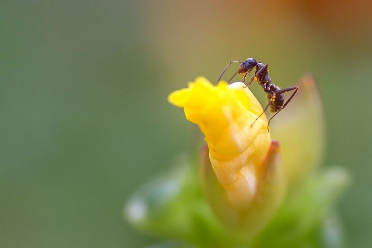 Extreme Close-Up Of Ant On Bud
