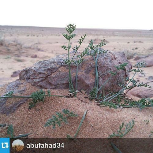 Repost @abufahad34 ・・・ بسباس شعيب الأوسط تصويري  بعل بعول امطارربيعبسباس شعيب صورة كشته
