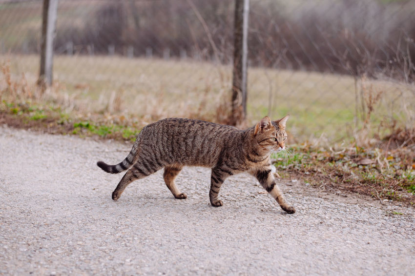 Natural Animal Animal Themes Day Domestic Cat Home Animals  One Animal Outdoors Pets Walking