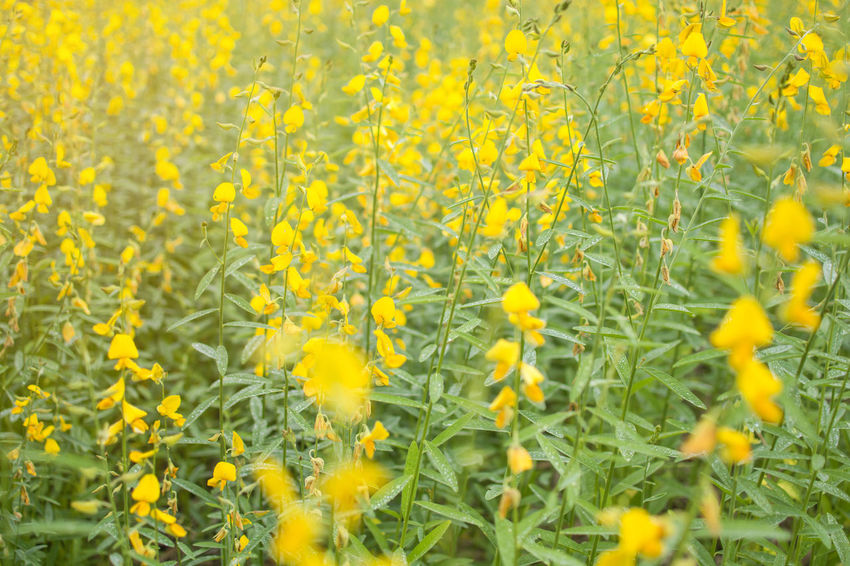 Soft focus of blooming Indian hemp flower field, Sunn Hemp plant for improving soil. Growth Improvement Indian Hemp Nature Plant Thailand Blooming Ecology Enviroment Flower Garden Soil Sunn Hemp Yellow