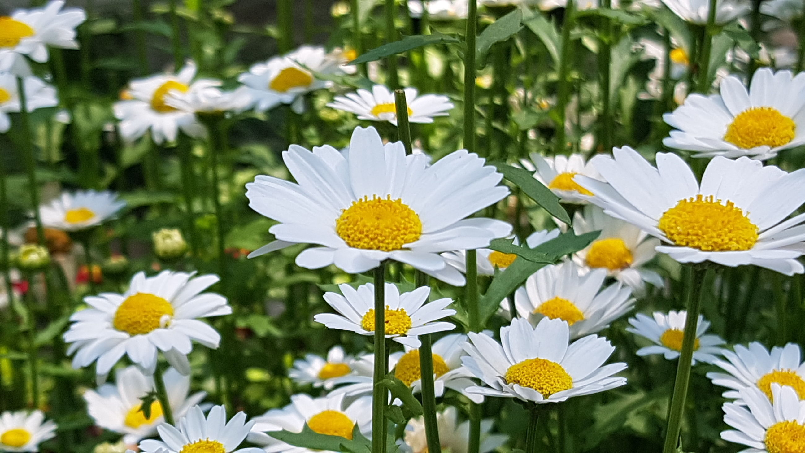 flowering plant, flower, freshness, plant, fragility, vulnerability, beauty in nature, petal, growth, inflorescence, flower head, close-up, white color, daisy, yellow, day, pollen, nature, no people, outdoors, flowerbed