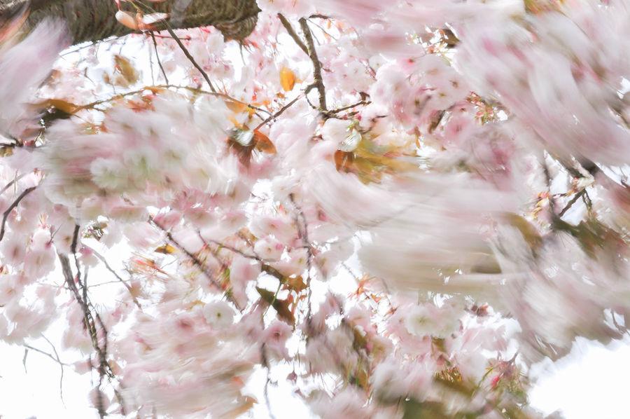 Cherry Blossoms Motion Blur Wind Blown Cherry Tree Moved By Wind Prunus Serrulata Shirofugen Sakura Blossom Springtime Wind