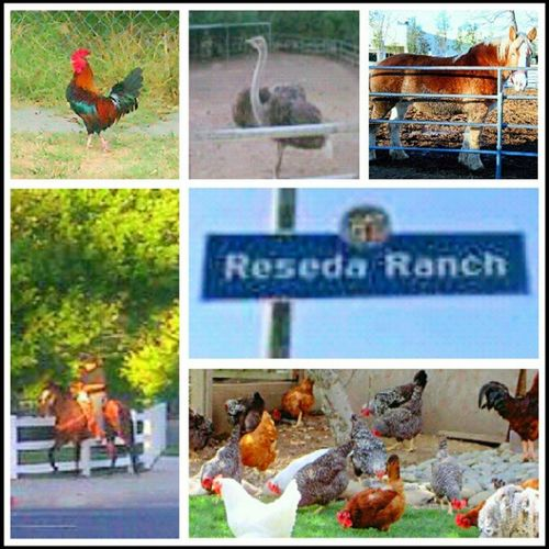"My Neighborhood ! The stuff you see living in the ""Ranch "" part of Reseda ... Animals Horses Roosters Chickens Pets RandomStuff Home"