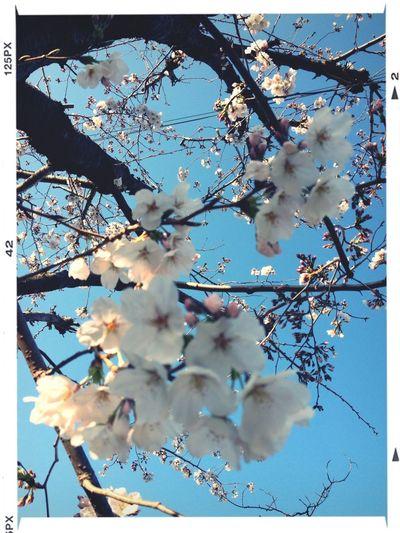 青空と桜はよく合います(^^)