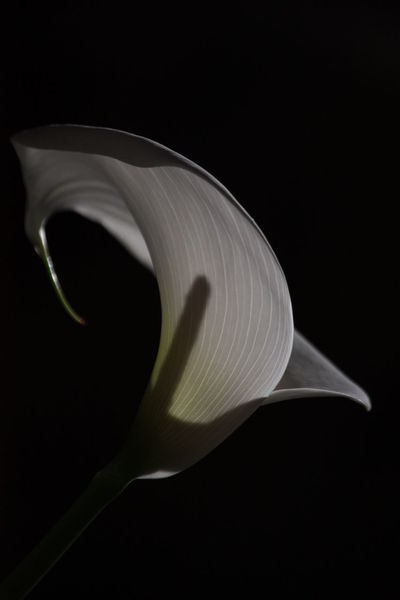 Beauty In Nature Black Background Calla Close-up Flower Flower Head Fragility Nature No People