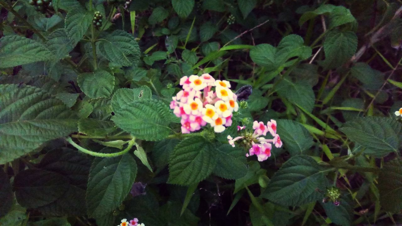 plant, flowering plant, flower, plant part, leaf, beauty in nature, freshness, growth, fragility, nature, vulnerability, petal, lantana, green color, close-up, inflorescence, flower head, day, no people, high angle view, outdoors