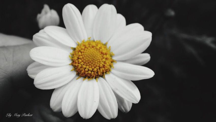 Marguerite Check This Out Nature ❤ Beauty In Nature From My Point Of View Love Therapie❤️ Lily EyeEm Gallery Belgium Lilymayparker.blogspot.be Lily May Parker Lily May Art Lily Style Beautiful Taking Photos Eyem Nature Lover For Once Own Style  Earn My Memory  Marguerite Flower