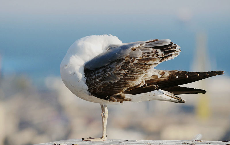 A young seagull dedicates to personal care of the plumage.