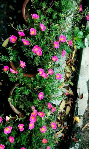 pinki pinki😜😍 Pink Flowers Pink Flower Pink Flower 🌸 Naturelovers Nature_collection Nature Photography Beauty In Nature EyeEm Nature Lover EyeEm Best Shots Eyyem Photography Evenningtime EyeEmNewHere EyeEm Selects EyeEm Gallery Flower Powder Paint High Angle View Close-up Plant