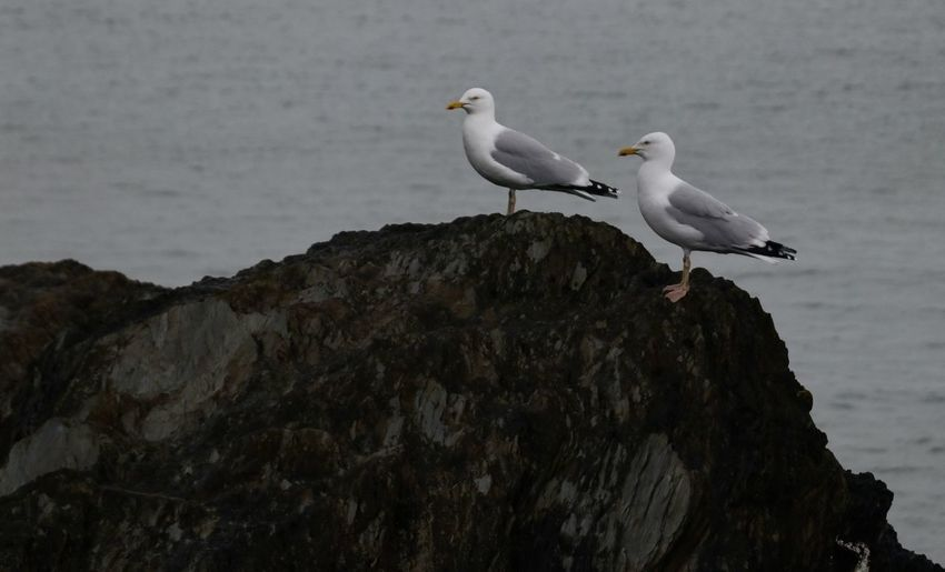 Animal Animal Themes Animal Wildlife Animals In The Wild Bird Day Group Of Animals Nature No People Outdoors Perching Rock Rock - Object Rock Formation Sea Seagull Solid Two Animals Vertebrate Water